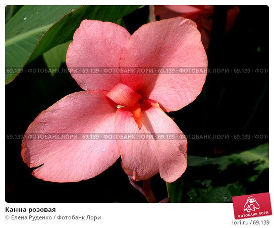 Купить «Канна розовая», фото № 69139, снято 6 сентября 2006 г. (c) Елена Руденко / Фотобанк Лори