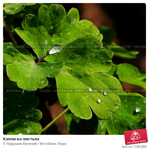 Капли на листьях, фото № 159559, снято 27 июля 2017 г. (c) Парушин Евгений / Фотобанк Лори