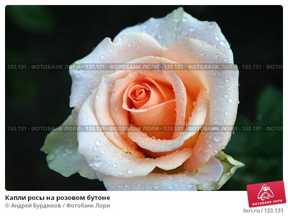 Капли росы на розовом бутоне, фото № 133131, снято 10 сентября 2005 г. (c) Андрей Бурдюков / Фотобанк Лори