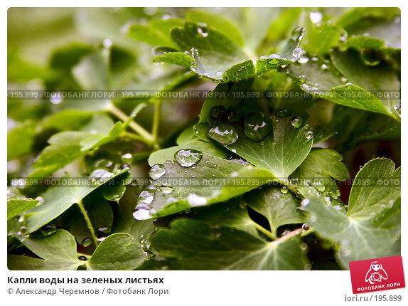 Капли воды на зеленых листьях, фото № 195899, снято 19 мая 2006 г. (c) Александр Черемнов / Фотобанк Лори