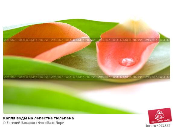 Капля воды на лепестке тюльпана, фото № 293567, снято 11 мая 2008 г. (c) Евгений Захаров / Фотобанк Лори