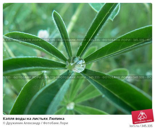 Купить «Капля воды на листьях Люпина», фото № 345335, снято 21 июня 2008 г. (c) Дружинин Александр / Фотобанк Лори