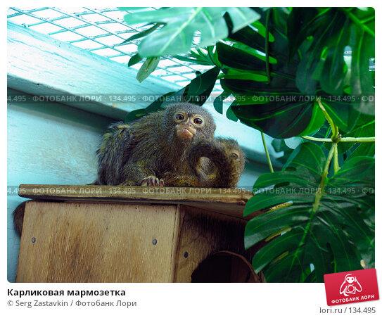 Карликовая мармозетка, фото № 134495, снято 10 октября 2004 г. (c) Serg Zastavkin / Фотобанк Лори