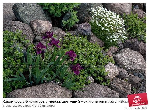Карликовые фиолетовые ирисы, цветущий мох и очиток на альпийской горке, фото № 269823, снято 1 июня 2006 г. (c) Ольга Дроздова / Фотобанк Лори