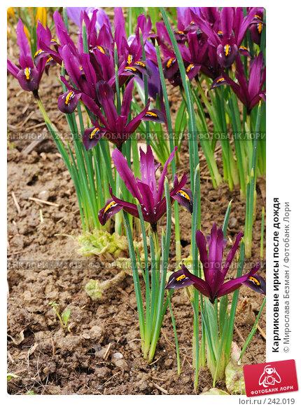Карликовые ирисы после дождя, фото № 242019, снято 17 марта 2008 г. (c) Мирослава Безман / Фотобанк Лори