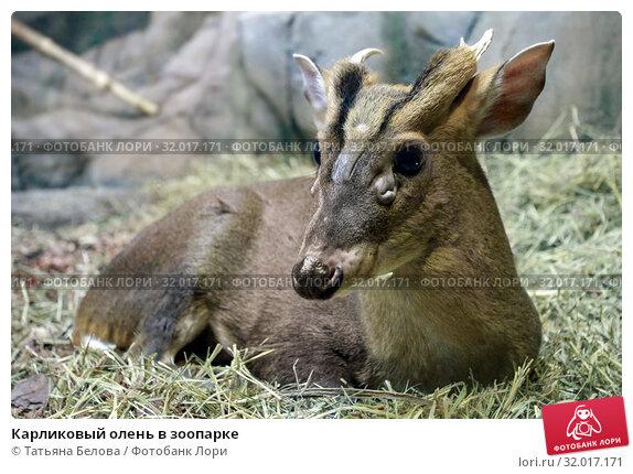 Купить «Карликовый олень в зоопарке», фото № 32017171, снято 4 мая 2019 г. (c) Татьяна Белова / Фотобанк Лори