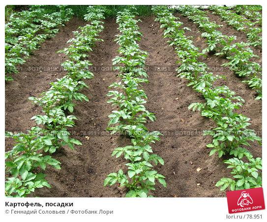 Купить «Картофель, посадки», фото № 78951, снято 7 июля 2007 г. (c) Геннадий Соловьев / Фотобанк Лори