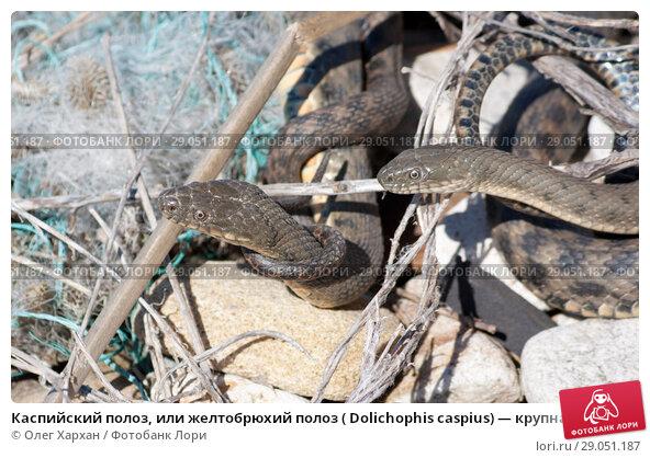 Купить «Каспийский полоз, или желтобрюхий полоз ( Dolichophis caspius) — крупная змея из семейства ужеобразных», фото № 29051187, снято 13 апреля 2017 г. (c) Олег Хархан / Фотобанк Лори