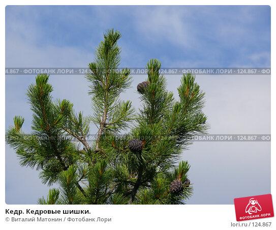 Кедр. Кедровые шишки., фото № 124867, снято 22 июля 2007 г. (c) Виталий Матонин / Фотобанк Лори