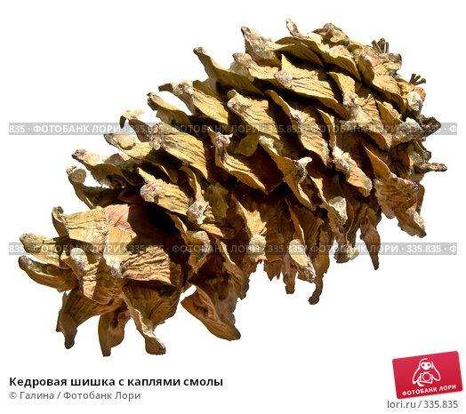 Кедровая шишка с каплями смолы, фото № 335835, снято 27 июня 2008 г. (c) Галина Щеглова / Фотобанк Лори