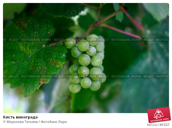 Кисть винограда, фото № 49027, снято 12 августа 2004 г. (c) Морозова Татьяна / Фотобанк Лори