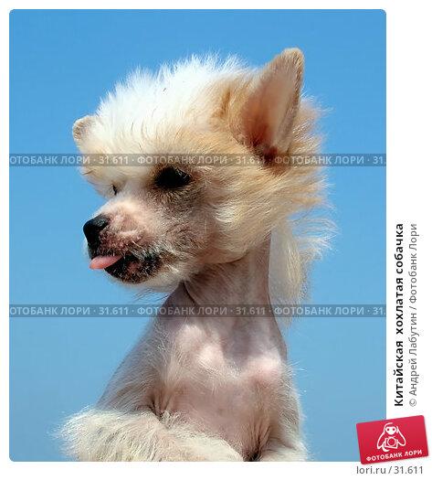 Китайская  хохлатая собачка, фото № 31611, снято 6 мая 2006 г. (c) Андрей Лабутин / Фотобанк Лори