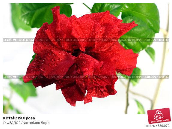 Китайская роза, фото № 330079, снято 22 июня 2008 г. (c) ФЕДЛОГ.РФ / Фотобанк Лори