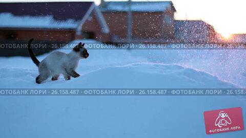 Купить «Kitten running in the snow at sunset», видеоролик № 26158487, снято 3 мая 2017 г. (c) Dmitry Chapurin / Фотобанк Лори