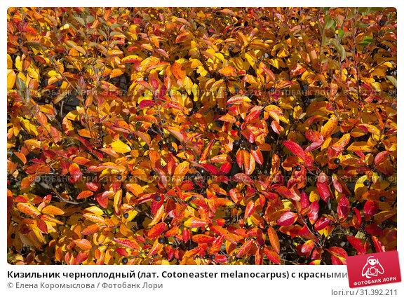 Купить «Кизильник черноплодный (лат. Cotoneaster melanocarpus) с красными и желтыми листьями осенью, фон», фото № 31392211, снято 10 октября 2017 г. (c) Елена Коромыслова / Фотобанк Лори