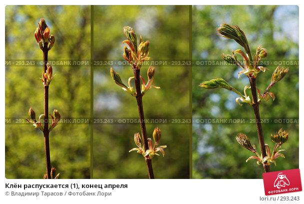 Клён распускается (1), конец апреля, фото № 293243, снято 26 апреля 2008 г. (c) Владимир Тарасов / Фотобанк Лори