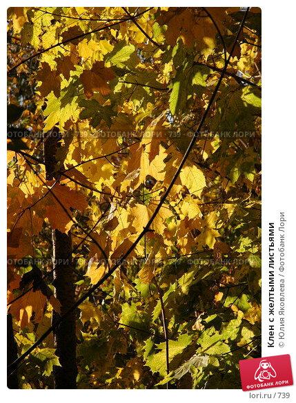 Клен с желтыми листьями, фото № 739, снято 1 октября 2005 г. (c) Юлия Яковлева / Фотобанк Лори