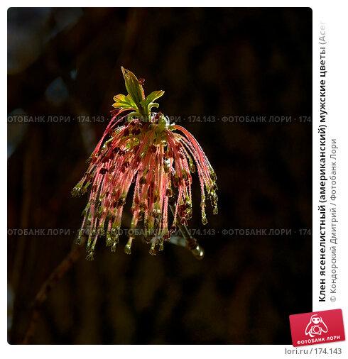Клен ясенелистный (американский) мужские цветы (Acer negundo), фото № 174143, снято 27 апреля 2007 г. (c) Кондорский Дмитрий / Фотобанк Лори