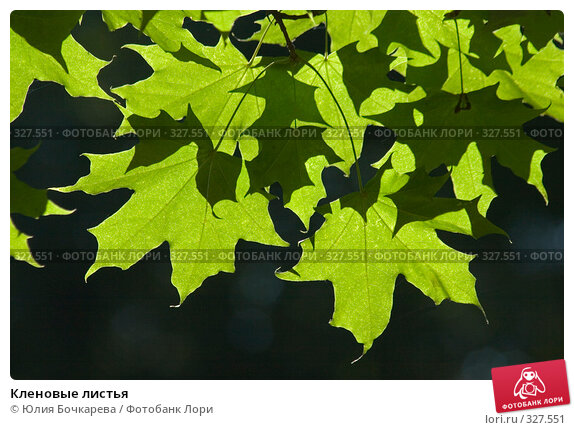 Кленовые листья, фото № 327551, снято 1 сентября 2007 г. (c) Юлия Бочкарева / Фотобанк Лори