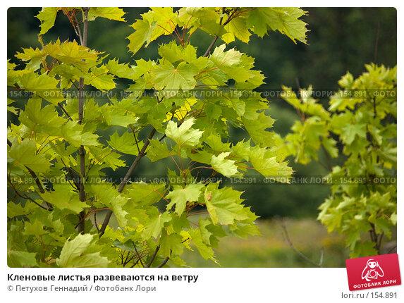 Купить «Кленовые листья развеваются на ветру», фото № 154891, снято 24 июля 2007 г. (c) Петухов Геннадий / Фотобанк Лори