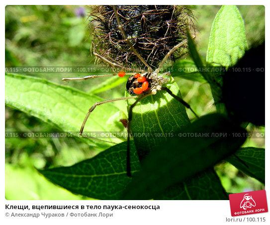 Клещи, вцепившиеся в тело паука-сенокосца, фото № 100115, снято 10 июля 2005 г. (c) Александр Чураков / Фотобанк Лори