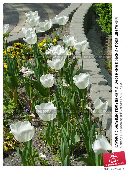 Клумба с белыми тюльпанами. Весенние краски - пора цветения, фото № 269815, снято 1 мая 2008 г. (c) Федор Королевский / Фотобанк Лори