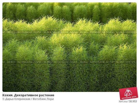 Кохия. Декоративное растение, фото № 38903, снято 14 августа 2005 г. (c) Дарья Олеринская / Фотобанк Лори