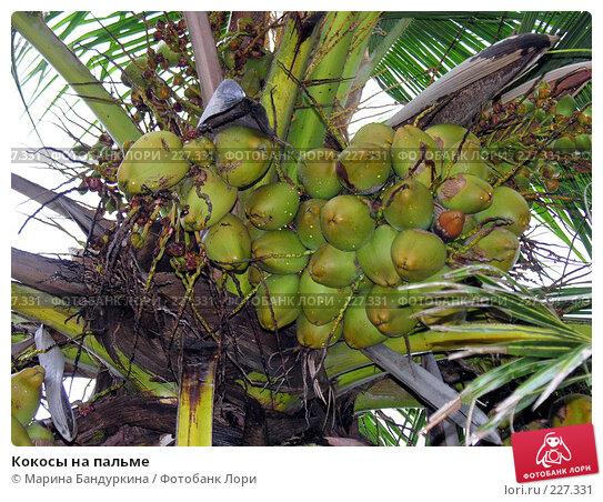 Купить «Кокосы на пальме», фото № 227331, снято 25 ноября 2005 г. (c) Марина Бандуркина / Фотобанк Лори