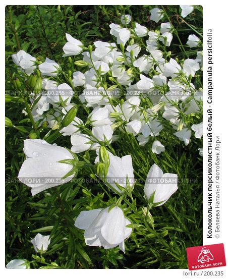 Колокольчик персиколистный белый - Campanula persicifolia, фото № 200235, снято 11 июля 2006 г. (c) Беляева Наталья / Фотобанк Лори