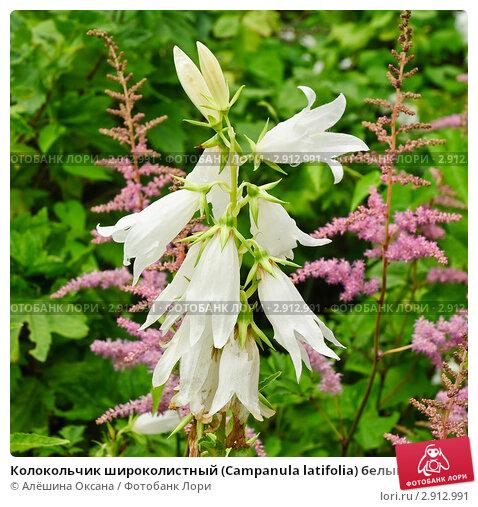 Купить «Колокольчик широколистный (Campanula latifolia) белый», эксклюзивное фото № 2912991, снято 3 июля 2010 г. (c) Алёшина Оксана / Фотобанк Лори