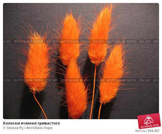 Купить «Колоски ячменя гривастого», фото № 254367, снято 9 апреля 2008 г. (c) Заноза-Ру / Фотобанк Лори