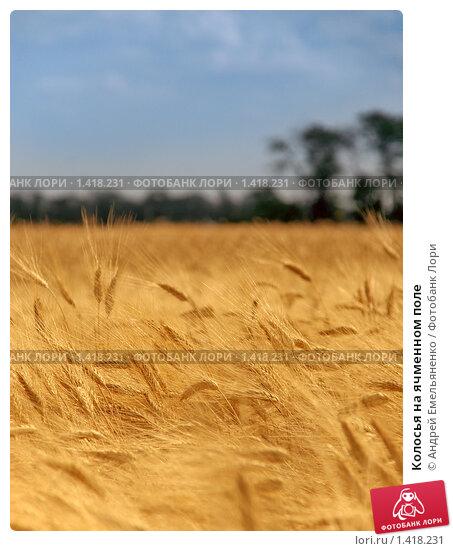 Купить «Колосья на ячменном поле», фото № 1418231, снято 10 июля 2009 г. (c) Андрей Емельяненко / Фотобанк Лори