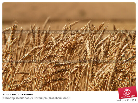 Колосья пшеницы, фото № 311255, снято 10 июля 2007 г. (c) Виктор Филиппович Погонцев / Фотобанк Лори