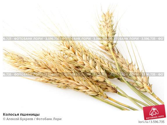 Купить «Колосья пшеницы», фото № 3596735, снято 11 июня 2012 г. (c) Алексей Букреев / Фотобанк Лори