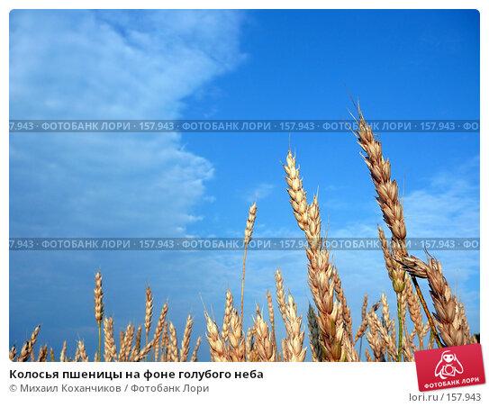 Колосья пшеницы на фоне голубого неба, фото № 157943, снято 28 августа 2007 г. (c) Михаил Коханчиков / Фотобанк Лори