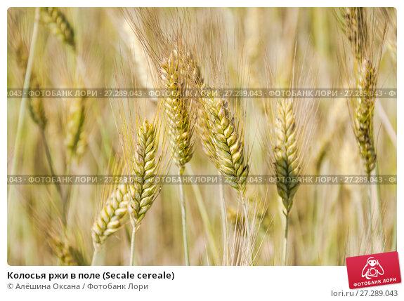 Купить «Колосья ржи в поле (Secale cereale)», фото № 27289043, снято 5 июля 2010 г. (c) Алёшина Оксана / Фотобанк Лори