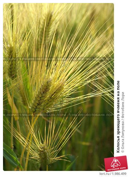 Купить «Колосья зреющего ячменя на поле», фото № 1986499, снято 31 мая 2008 г. (c) Ольга Липунова / Фотобанк Лори