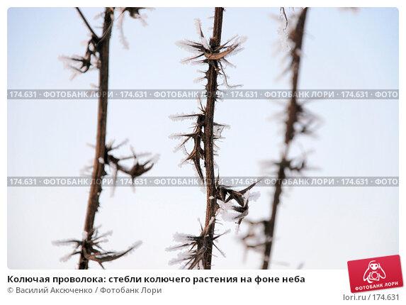 Купить «Колючая проволока: стебли колючего растения на фоне неба», фото № 174631, снято 6 января 2008 г. (c) Василий Аксюченко / Фотобанк Лори