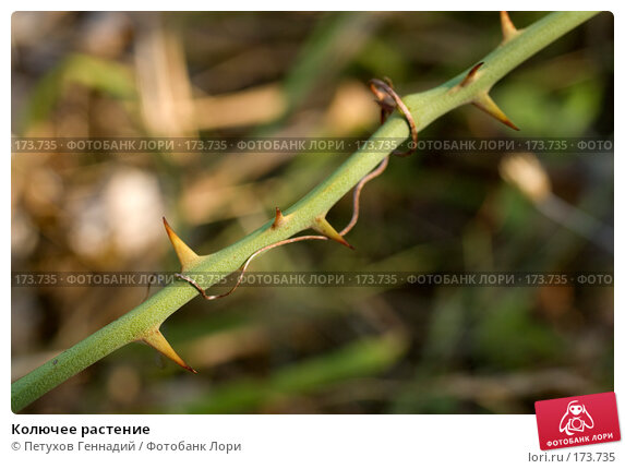 Колючее растение, фото № 173735, снято 12 августа 2007 г. (c) Петухов Геннадий / Фотобанк Лори
