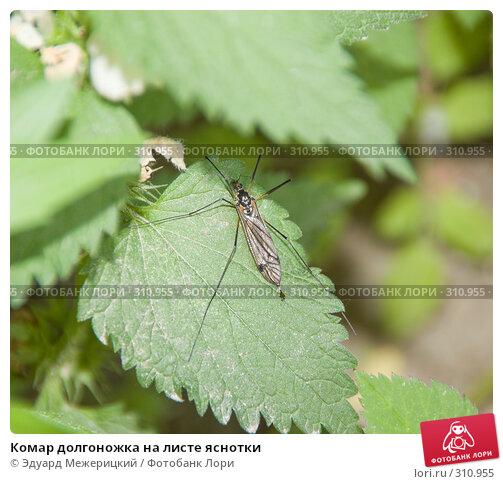 Купить «Комар долгоножка на листе яснотки», фото № 310955, снято 31 мая 2008 г. (c) Эдуард Межерицкий / Фотобанк Лори