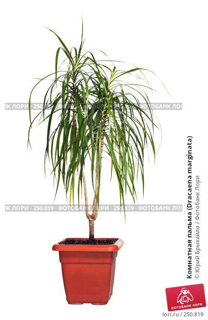 Комнатная пальма (Dracaena marginata), фото № 250819, снято 27 июля 2017 г. (c) Юрий Брыкайло / Фотобанк Лори