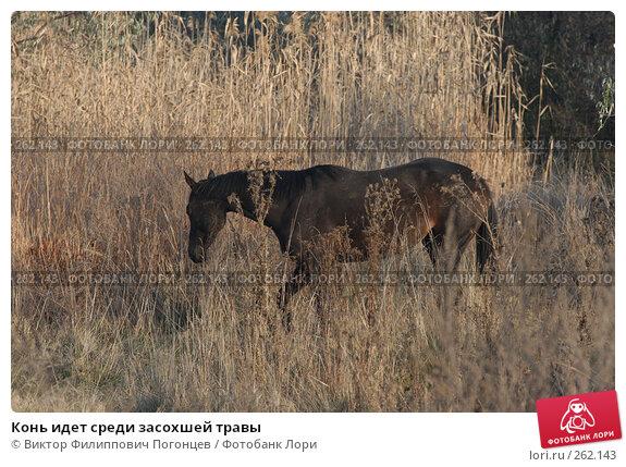 Конь идет среди засохшей травы, фото № 262143, снято 6 ноября 2004 г. (c) Виктор Филиппович Погонцев / Фотобанк Лори