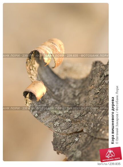 Кора вишневого дерева, эксклюзивное фото № 239835, снято 28 марта 2008 г. (c) Евгений Захаров / Фотобанк Лори