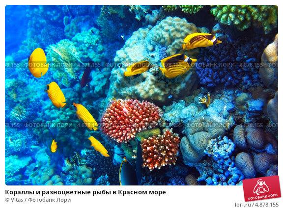 Купить «Кораллы и разноцветные рыбы в Красном море», фото № 4878155, снято 8 сентября 2012 г. (c) Vitas / Фотобанк Лори