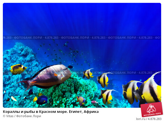 Купить «Кораллы и рыбы в Красном море. Египет, Африка», фото № 4878283, снято 8 сентября 2012 г. (c) Vitas / Фотобанк Лори