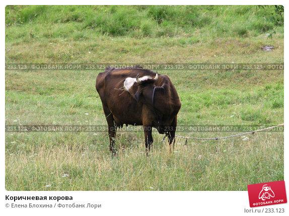 Коричневая корова, фото № 233123, снято 13 июля 2007 г. (c) Елена Блохина / Фотобанк Лори