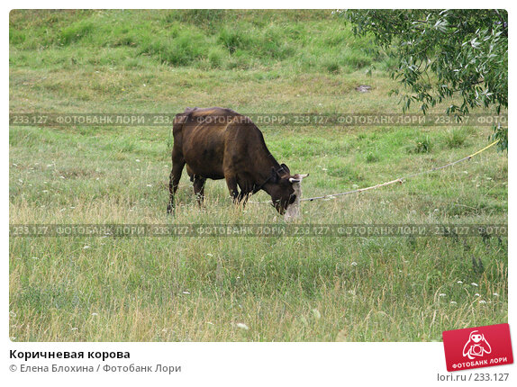 Купить «Коричневая корова», фото № 233127, снято 13 июля 2007 г. (c) Елена Блохина / Фотобанк Лори