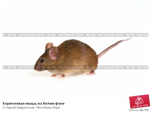 Коричневая мышь на белом фоне, фото № 88759, снято 23 сентября 2007 г. (c) Сергей Лаврентьев / Фотобанк Лори
