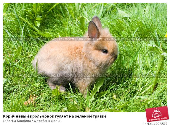 Коричневый крольчонок гуляет на зеленой травке, фото № 292527, снято 20 мая 2008 г. (c) Елена Блохина / Фотобанк Лори
