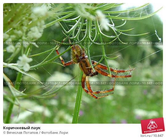 Купить «Коричневый паук», фото № 10847, снято 11 августа 2004 г. (c) Вячеслав Потапов / Фотобанк Лори